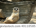 meerkat sitting and relaxing 40110585