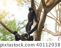 one gibbon persecute another gibbon 40112038