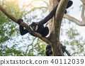 one gibbon climb branch of the tree 40112039