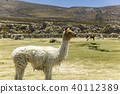 烏尤尼鹽湖羊駝動物駱駝 40112389