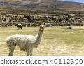 烏尤尼鹽湖羊駝動物駱駝 40112390