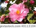 Pink camellia flower 40113104