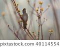 Savi's warbler (Locustella luscinioides) 40114554