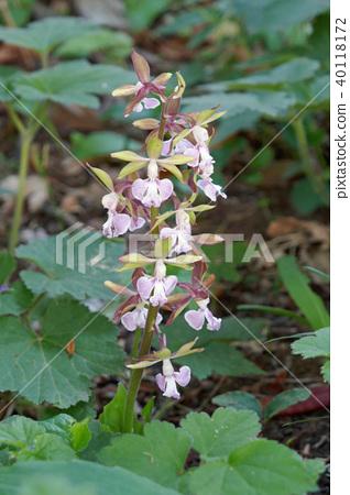 Ebine Orchid 40118172