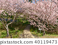 hamamatsu flower park, cherry blossom, cherry tree 40119473