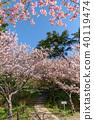 hamamatsu flower park, cherry blossom, cherry tree 40119474