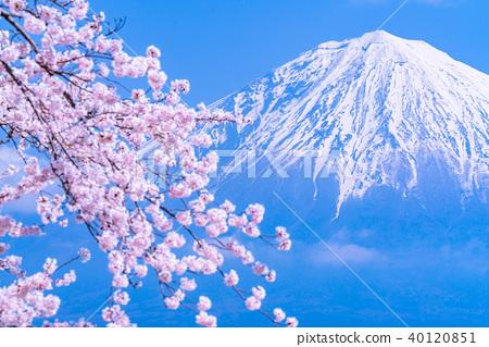 富士山 櫻花 櫻 40120851