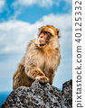 portrait of a wild male macaque 40125332