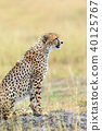 Wild african cheetah 40125767