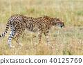 Wild african cheetah 40125769