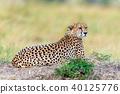 Wild african cheetah 40125776