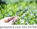 茶園茶園茶葉新鮮葉子手工採摘的早晨圖像 40126788