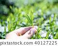 茶園茶園茶葉新鮮葉子手工採摘的早晨圖像 40127225