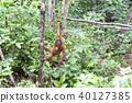 猩猩 叢林 野生動物 40127385