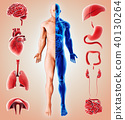 3D illustration of Human Internal Organic. 40130264