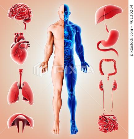 3D illustration of Human Internal Organic. 40130264