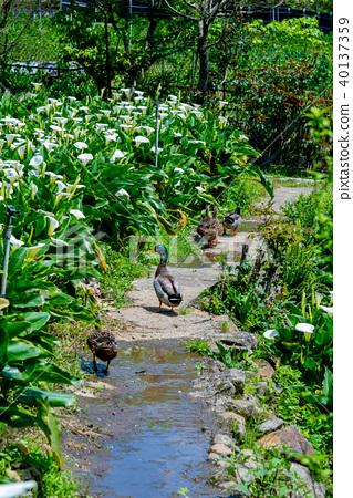 穿梭在海芋間的鴨子 Ducks in Calla lily Fields 海芋の間を回遊する鴨 40137359