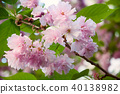 Beautiful japanese sakura blossom 40138982