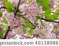 Japanese sakura blossom in spring time 40138986