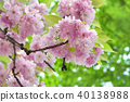 Pink cherry flowers and green leaves 40138988