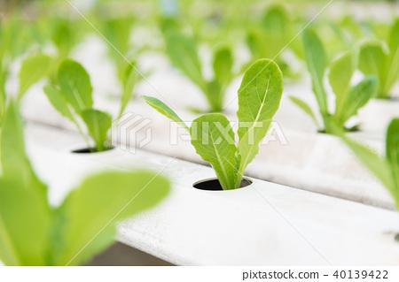 Green Cos in plant hydroponic farm, Hydroponics 40139422