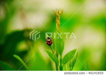 Ladybug 40142850
