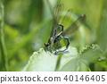 豆娘 蜻蜓 色蟌科 40146405