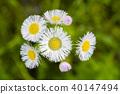 봄망초, 야생화, 들꽃 40147494