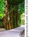 Bise Fukugi Tree 40148166