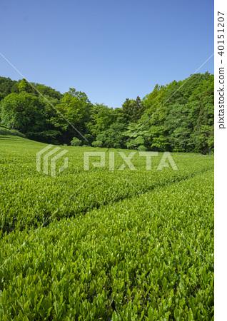 在新鮮的綠色Sayama小山的茶領域 40151207