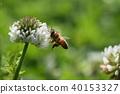 蜜蜂 飞翔 白色三叶草 40153327