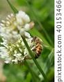 蜜蜂 白色三叶草 花朵 40153466
