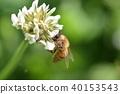 蜜蜂 白色三叶草 花朵 40153543