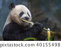 giant panda while eating bamboo 40155498