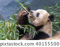 giant panda while eating bamboo 40155500