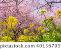 Kawazu cherry tree and rape blossoms 40156793