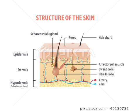Structure of the skin info graphics vector 40159752
