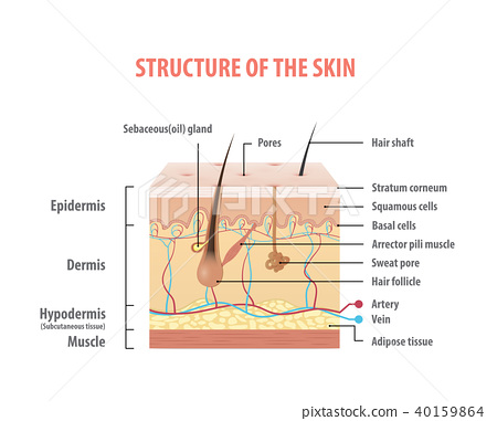 Vol.2 Structure of the skin info graphics vector 40159864