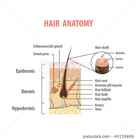 Hair Anatomy Illustration Vector On White Stock Illustration