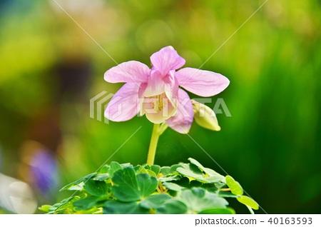 미 야마오다마키 꽃 40163593