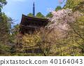 kongourin-ji, cherry blossom, cherry tree 40164043