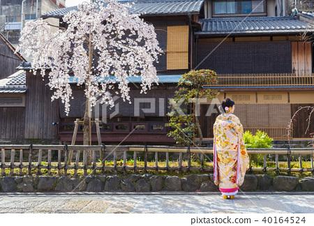 교토 기온 시라카와의 벚꽃과 기모노 차림의 여성 40164524