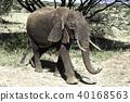 아프리카 코끼리 40168563