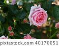 장미, 장미꽃, 로즈 40170051