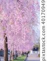日中雷紀念自行車步行道的死水櫻花 40170949