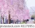 일중 선 기념 자전거 보행자 구역의 수양 벚나무 40170951