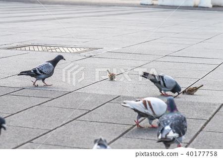 지상에서 먹이를 찾는 참새와 비둘기 참새와 비둘기 40177758