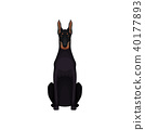 Portrait of dobermann. Medium-large breed of dog with sleek black coat, athletic body, long ears and 40177893