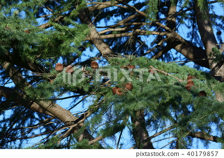 삼나무 솔방울 40179857