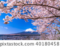 """""""山梨縣""""富士山和櫻花盛開 40180458"""